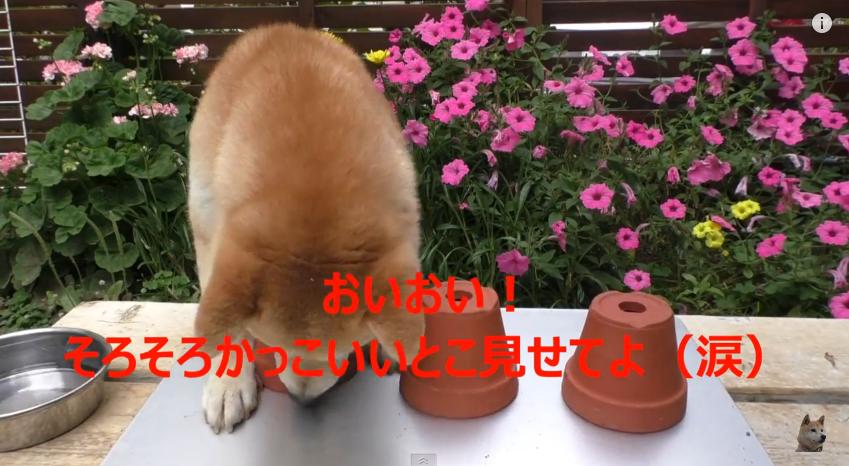 十局游戏测试狗狗的智商,这样傻萌的柴犬一定会让你笑到喘不过气来。