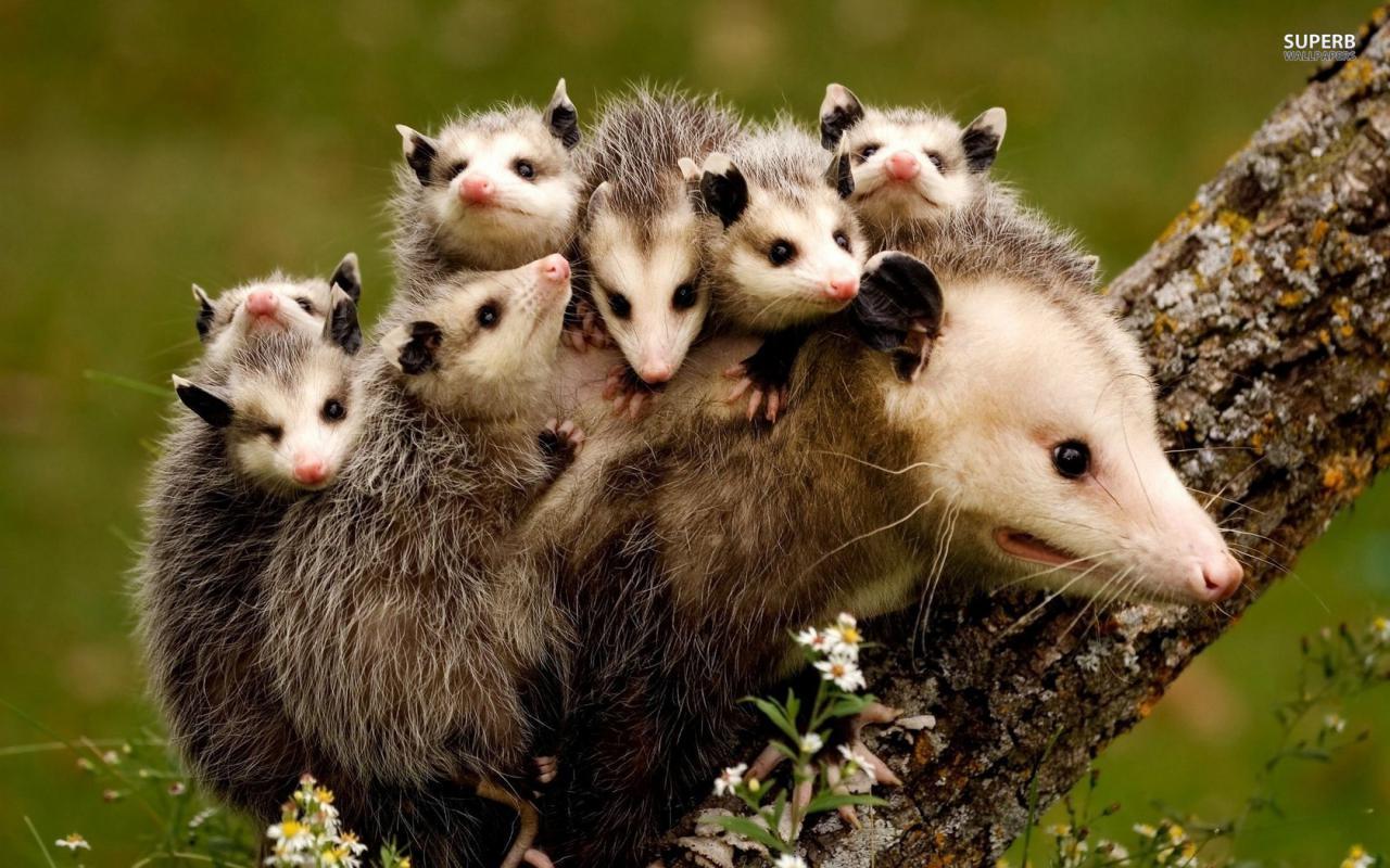 北美負鼠老媽帶著一羣小朋友霸住壁櫥,沒事的只把你家當酒店住幾天!