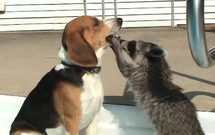「來~ 張開嘴巴」浣熊在跟狗狗玩辦家家酒,路過的貓咪傻眼了....