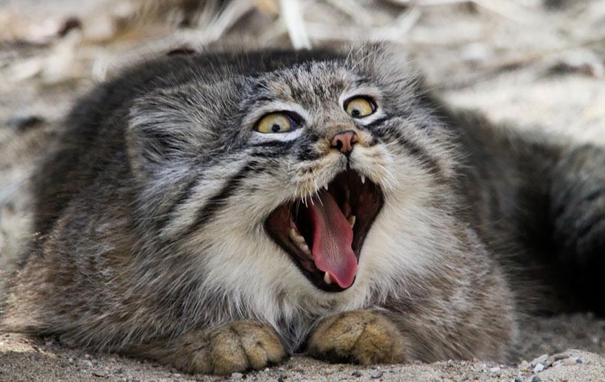 這隻表情超白痴的猫猫,原來是世界上最貴的品種之一!