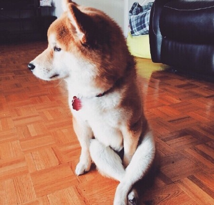 作為一隻狗,你知道這樣坐會引人犯罪的嗎?