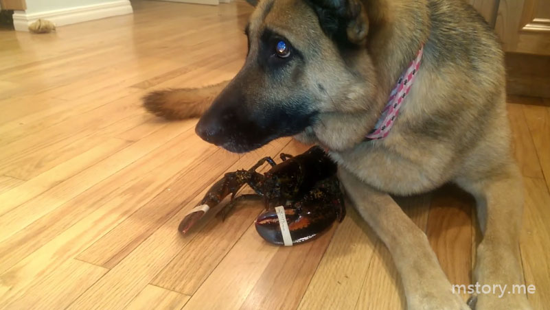 german shepherd protective over a lobster