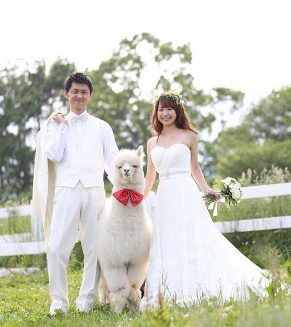 日本某酒店推特殊婚禮服務:草泥馬見證忠貞不渝的愛