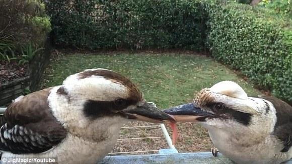两鸟为了一时意气,竟然咬住肉僵持了数小时,连人烦也看不过眼了!